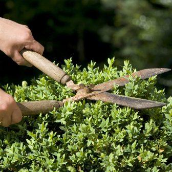 Нужно ли обрезать кустарники весной