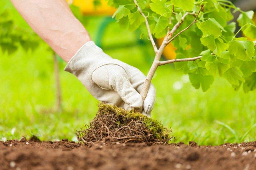 Подготовка саженцев деревьев к посадке весной