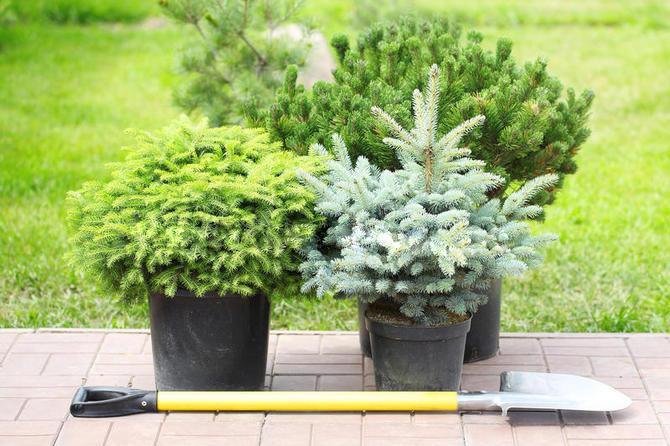 Когда сажать хвойные деревья