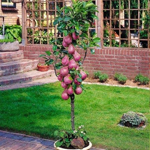 Самые неприхотливые плодовые деревья