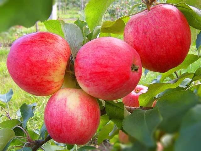 Уход за яблоней в июле