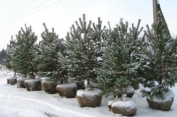Правила зимней посадки крупномеров с комом