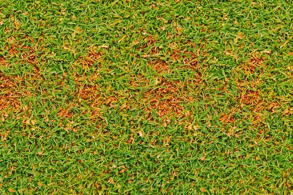 Как избежать желтых пятен на газоне
