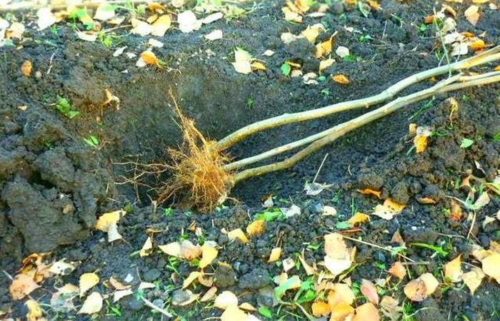 Как хранить саженцы зимой в прикопе