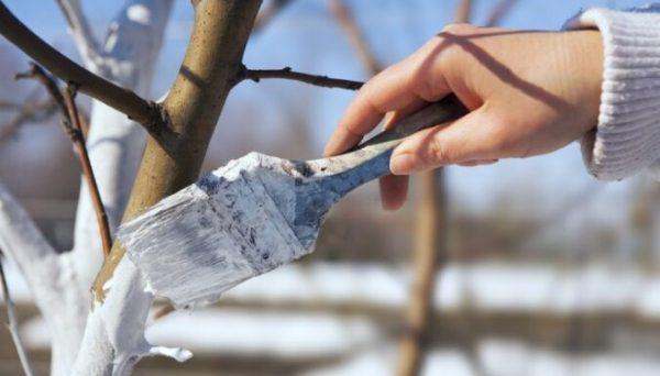 Как уберечь кору деревьев от растрескивания и морозобоин
